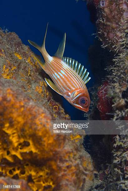 Longspine squirrelfish with dorsal spines extended Holocentrus rufus Curacao Netherlands Antilles Digital Photo