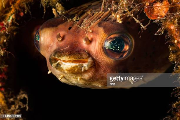 longspined porcupinefish diodon holocanthus keeping watch from reef, lembeh strait, indonesia - indo pacific ocean stock pictures, royalty-free photos & images