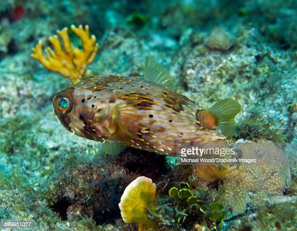 A Long-Spined Porcupinefish, Key Largo, Florida.