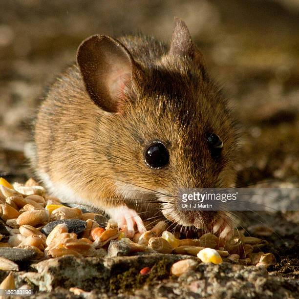 long-tailed fieldmouse - field mouse stock photos and pictures