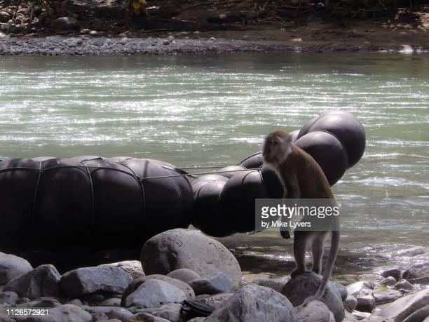 long-tailed macaque investigates river rafts, gunung leuser national park, sumatra. - bote inflável - fotografias e filmes do acervo