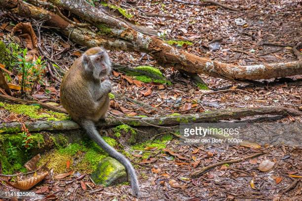 long-tailed macaque - bako national park stock pictures, royalty-free photos & images