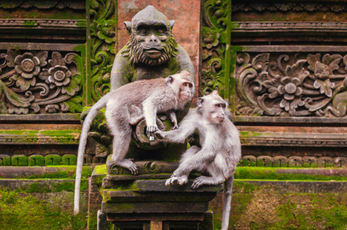 Long-tailed macaque 495335883