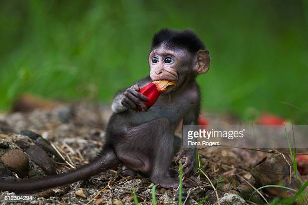 Long-tailed or crab-eating macaque baby feeding on the fruit of a 'Beach Pandan' or 'Screw Pine'