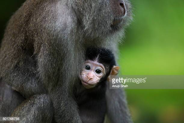 long-tailed or crab-eating macaque baby suckling - bako national park stock pictures, royalty-free photos & images