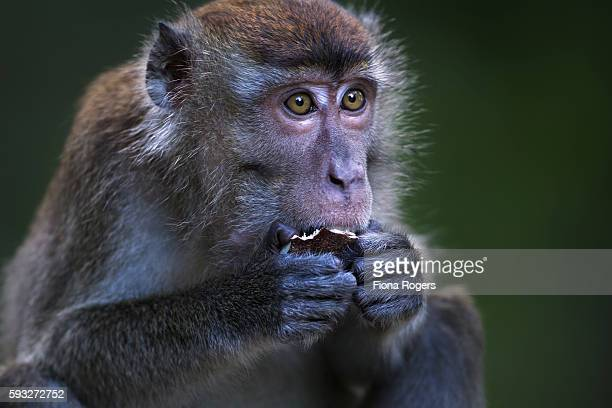 long-tailed or crab-eating macaque juvenile aged 18-24 months feeding on a coconut - coconut crab stock pictures, royalty-free photos & images