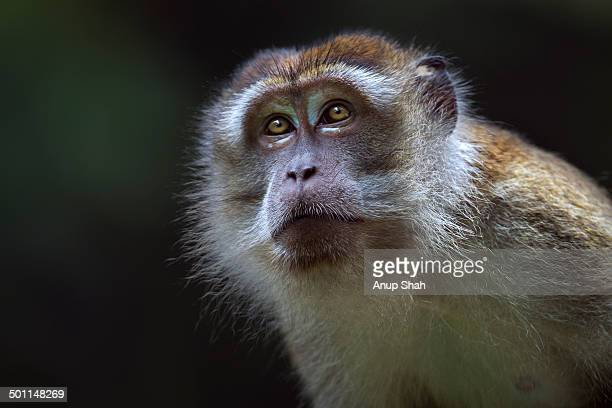 long-tailed or crab-eating macaque mature male - bako national park stock pictures, royalty-free photos & images