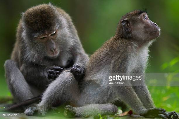 long-tailed or crab-eating macaques grooming - bako national park stock pictures, royalty-free photos & images
