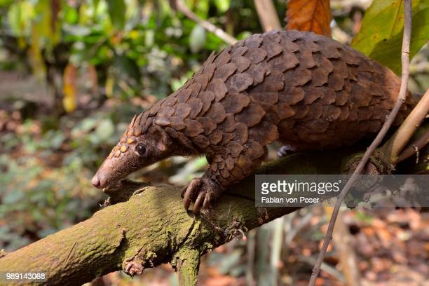 long-tailed pangolin (phataginus tetradactyla), mangamba, littoral province, cameroon - pangolin stock pictures, royalty-free photos & images