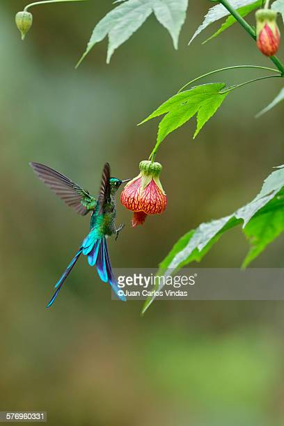 long-tailed sylph - hummingbird stock photos and pictures