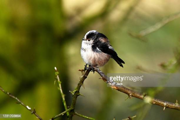 Long-tailed tit at the RSPB's Loch Leven nature reserve, on February 16, 2021 in Kinross, Scotland.