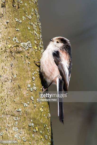 long-tailed tit (aegithalos caudatus), mt. tratzberg, stans, tyrol, austria - vista lateral stock pictures, royalty-free photos & images