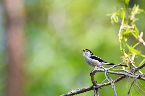 Long-tailed Tit - gettyimageskorea