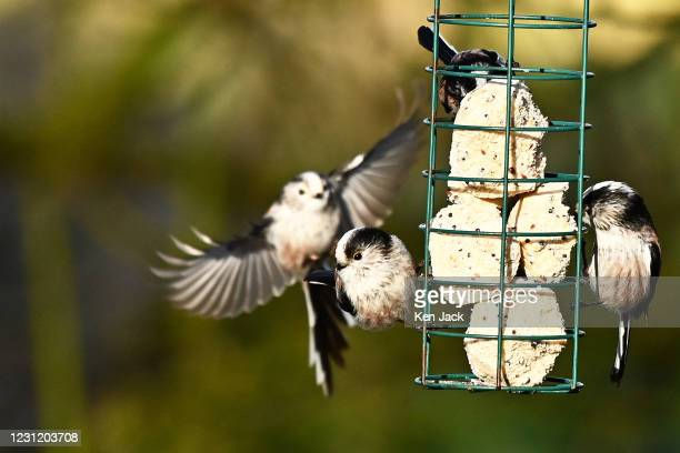 Long-tailed tits around a feeder at the RSPB's Loch Leven nature reserve, on February 16, 2021 in Kinross, Scotland.