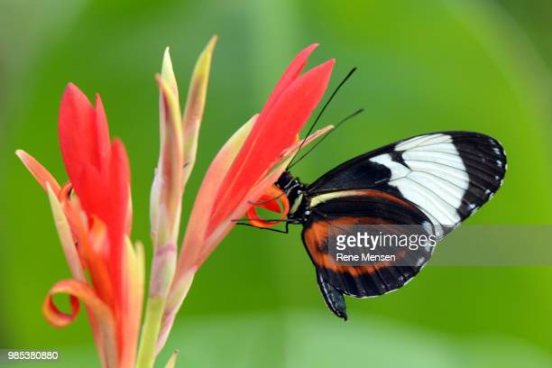 Longwing on a red flower