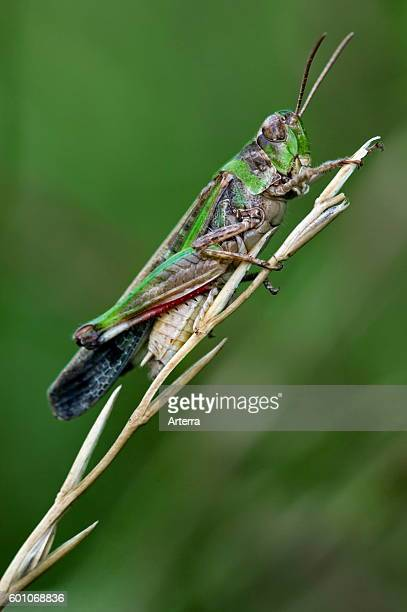 Longwinged grasshopper