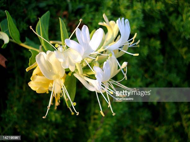 lonicera caprifolium - honeysuckle stock pictures, royalty-free photos & images