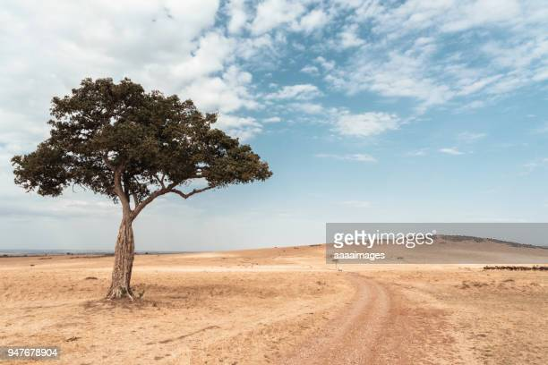 Lonly acacia tree in very dry savannah against blue sky