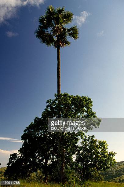 Lontar palm and Banyan tree Rinca Island Komodo National Park the Eastern Sunda Islands Indonesia