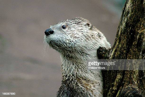lontra - otter - moura stock photos and pictures