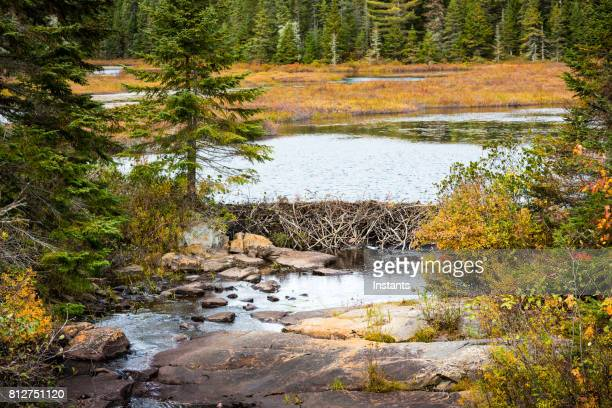 a look at a beaver dam in la mauricie national park, situated near shawinigan in québec. - beaver dam stock pictures, royalty-free photos & images
