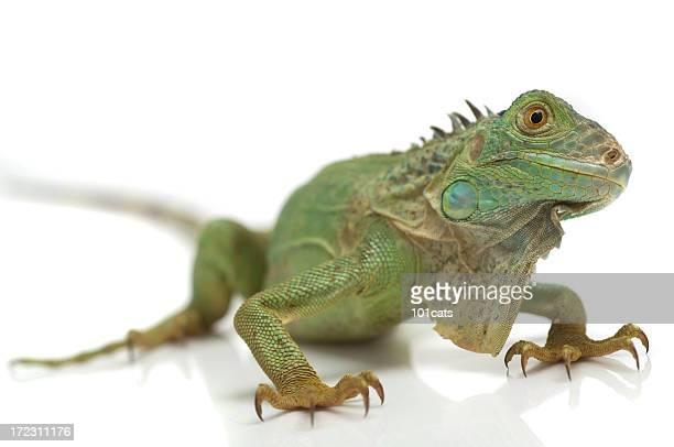 スタイルで私 - green iguana ストックフォトと画像