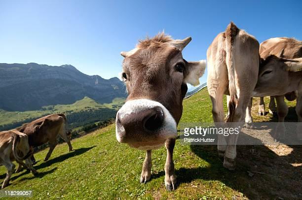 Blick in die Kamera, Schweizer Rindsleder