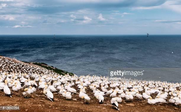 een blik op het beroemde bonaventure eiland noord bloemenverkoopster,'s werelds grootste kolonie, waar meer dan 200 duizend vogels deze plek thuis noemen, 6 maanden van het jaar. - northern gannet stockfoto's en -beelden