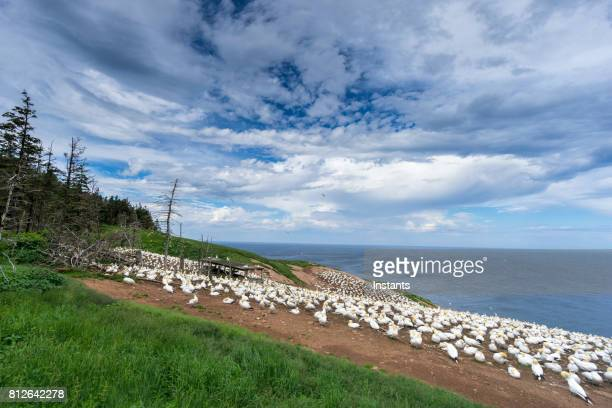 a look at the famous bonaventure island's northern gannets, the world's largest colony, where over 200 thousand birds call this place home, 6 months out of the year. - gaspe peninsula stock pictures, royalty-free photos & images