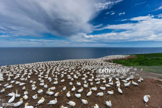 a look at the famous bonaventure island's northern gannets, the world's largest colony, where over 200 thousand birds call this place home, 6 months out of the year. - river st lawrence stock pictures, royalty-free photos & images