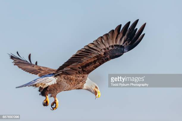 look back - eagle bird stock photos and pictures