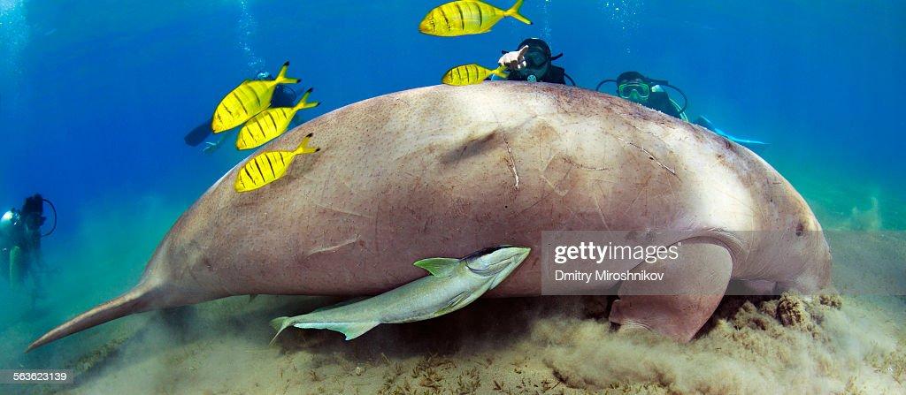 Look! Dugong! : Stock Photo