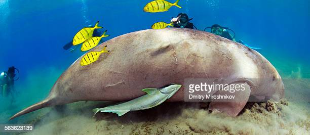 look! dugong! - dugong stock pictures, royalty-free photos & images