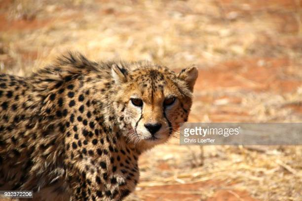 look in the eye of a cheetah in namibia - safari animals stock pictures, royalty-free photos & images