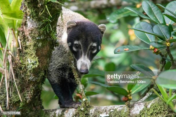 look into my eyes - coati stock pictures, royalty-free photos & images