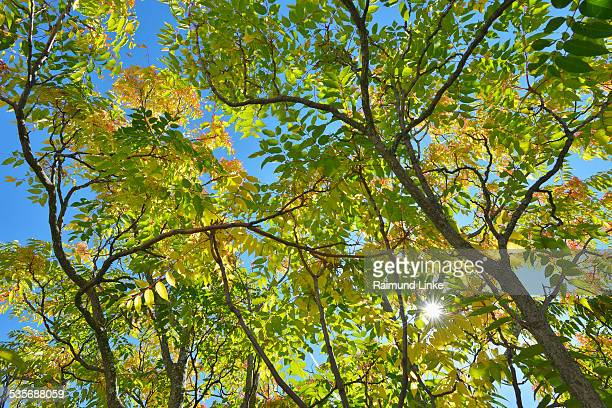 look into the treetop with sun - alpes de haute provence stock pictures, royalty-free photos & images