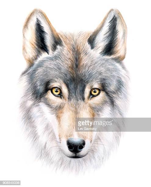 look of a wolf - loup blanc photos et images de collection