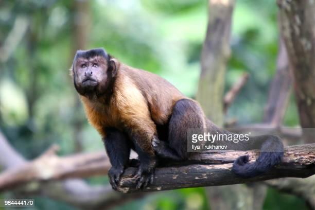 look up - mono capuchino fotografías e imágenes de stock