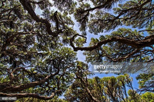 look up to the canopy of manuka trees - manuka stock photos and pictures