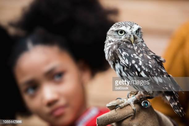 looking at a little owl - birds_of_prey stock pictures, royalty-free photos & images