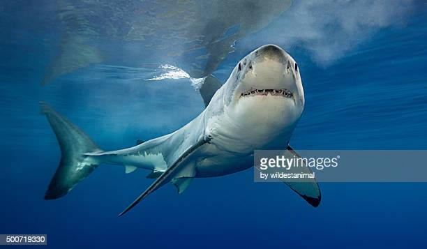 looking at me - great white shark stock photos and pictures