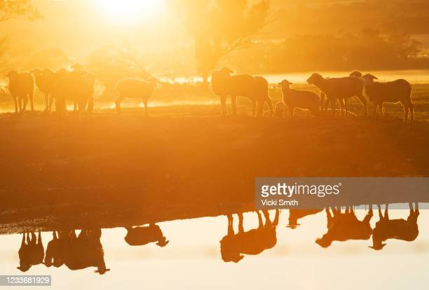 looking at silhouettes and reflections of sheep around a waterhole at sunrise - tamworth australia stock pictures, royalty-free photos & images