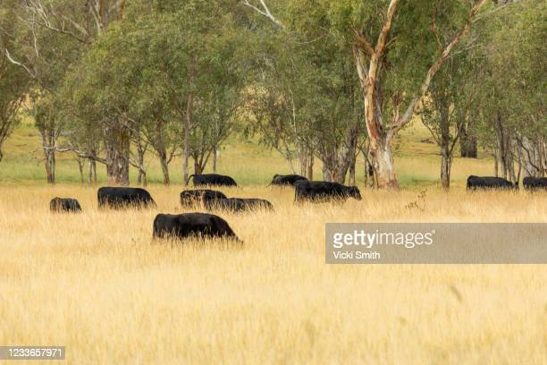 looking at silhouettes of black cattle in the long wheat grass at  sunrise - grazing stock pictures, royalty-free photos & images