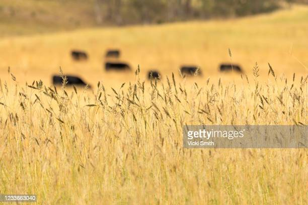 looking at silhouettes of black cattle in the long wheat grass at  sunrise - tamworth australia stock pictures, royalty-free photos & images