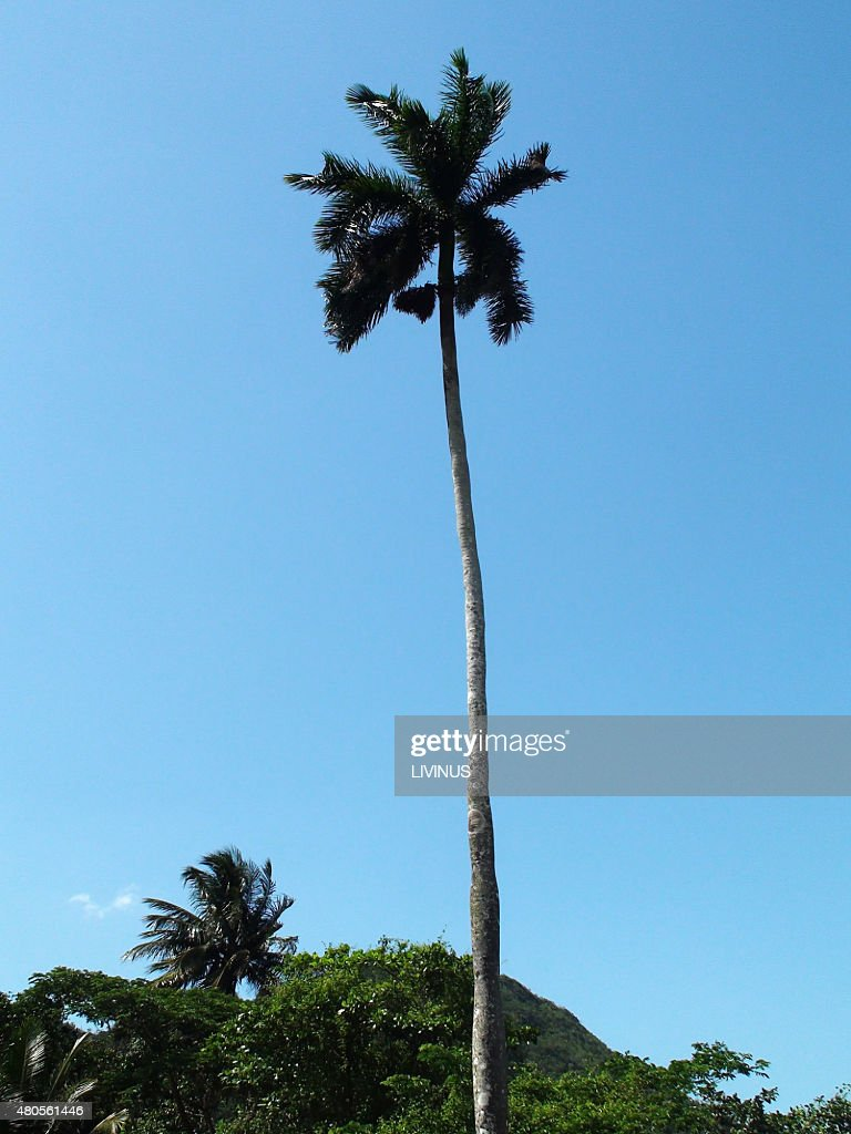 Looking At Tall Palm Tree With Pure Blue Sky : Stock Photo
