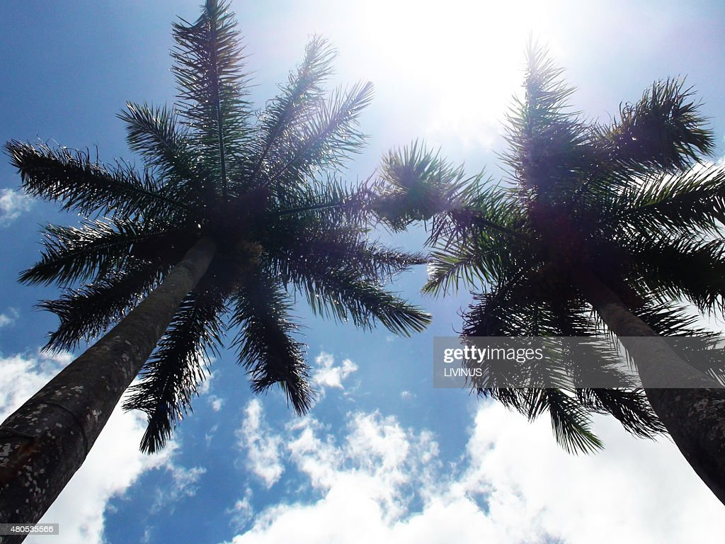 Looking At Tall Palm Trees Against Blue Sky : Stock Photo