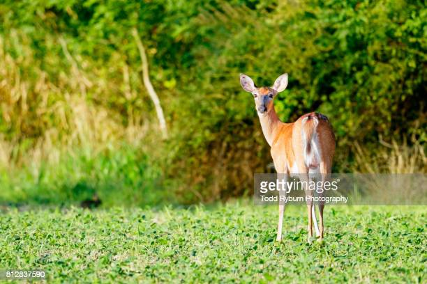 looking back - white tail deer stock photos and pictures