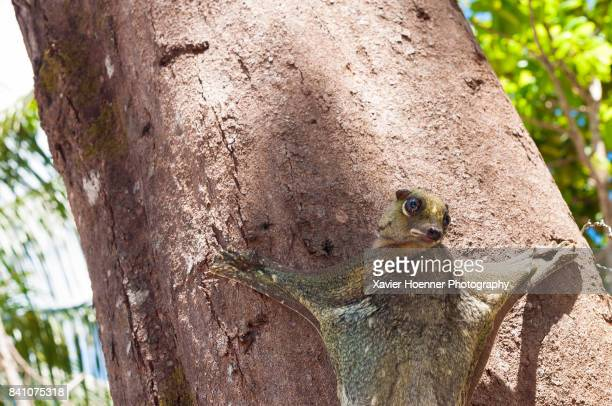 looking back - flying lemur stock pictures, royalty-free photos & images