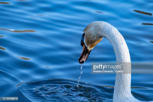 looking behind the long neck of white mute swan with water dripping from beak - long neck animals stock pictures, royalty-free photos & images