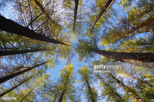 Looking directly up at the forest trees and sky